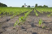 Corn field with water damage — Stock Photo