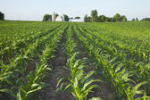 Field of young corn with farm in background — Foto de Stock