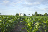 Selective focus view of cornfield and farm — Stock Photo