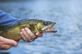Walleye close up held by a fisherman — Stok fotoğraf
