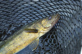 Close up shot of nice walleye in a fishing net — Stock Photo
