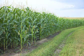 Edge of a midwestern cornfield — Stock Photo