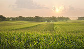 Midwestern cornfield below setting sun — Stock Photo