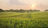 Midwestern cornfield below setting sun — Stock Photo