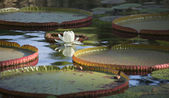 Lily pads and white flower on a pond — Stock Photo