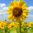 Sunflower field and cloudy sky - Stock Photo