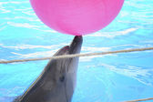 Dolphin playing in dolphinarium. — Stock Photo