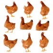 Set of brown chicken isolated on white — Stock Photo #13913044