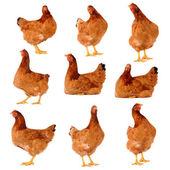 Set of brown chicken isolated on white — Stock Photo
