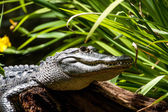 аллигатор — Стоковое фото