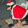 Dog in clothes Santa Claus — Stock Photo