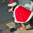 Dog in clothes Santa Claus - Stock Photo