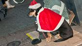 Dog in clothes Santa Claus — Stock Photo