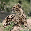 Cheetah — Stock Photo #13254008