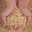 Oat seeds in hands — Stock Photo