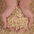 Oat seeds in hands — Stock Photo #37224473