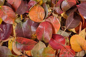Fallen autumn leaves of pear — Stock Photo