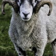 Stock Photo: Sheep with horns