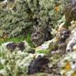 Stock Photo: Wild rabbit sheltering behind rocks