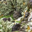 Wild rabbit sheltering behind rocks - Stock Photo