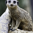 Alert meerkat, Suricata suricatta — Stock Photo