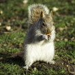 Squirrel foraging for nuts — Stock Photo