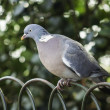 Grey dove perched on wire fence — Stock Photo
