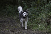 Siberian husky walking — Stock Photo
