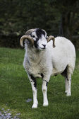 Recently shorn Herdwick ram — Stock Photo