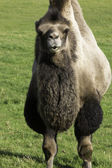 Inquisitive bactrian camel — Stock Photo