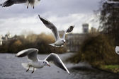 Flock of seagulls in flight — Stock Photo