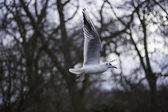 Closeup view of a seagull in flight — Stock Photo