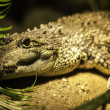 Stock Photo: Crocodile head portrait