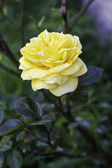 Single beautiful yellow rose — Stock Photo