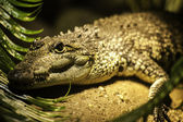 Crocodile head portrait — Stock Photo