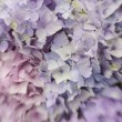 Abstract background of blue hydrangea — Stock Photo