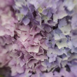 Stock Photo: Abstract background of blue hydrangea