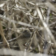 Stock Photo: Little bird camouflaged in bush