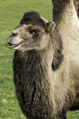 Lone bactrian camel on a farm — Stock Photo
