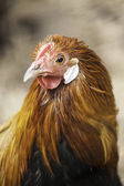 Hen with long silky feathers — Stock Photo