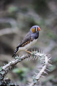 Finch sitting on a thorny branch — Stock Photo