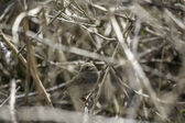 Little bird camouflaged in a bush — Stock Photo