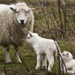 Stock Photo: Ewe with two lambs