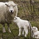 Ewe with two lambs — Stock Photo #15595845