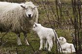 Ewe with two lambs — Stock Photo