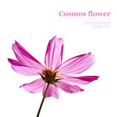Pink flower isolated on white with sample text — Zdjęcie stockowe