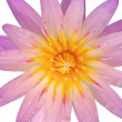 Close up pink color blooming water lily or lotus flower isolated on white — Stock Photo