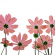 Back view of light pink Cosmos Flower isolated on white — Stock Photo