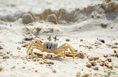Close Up of a Ghost Crab on White Sand Beach — Stock Photo