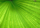 Close up of Tropical Green Leave Texture use as a Background — Stock Photo